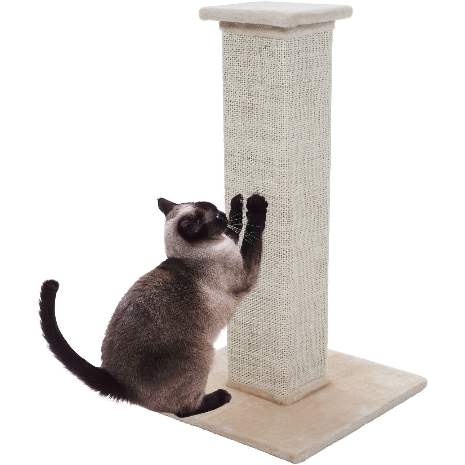 himalayan kittens near me