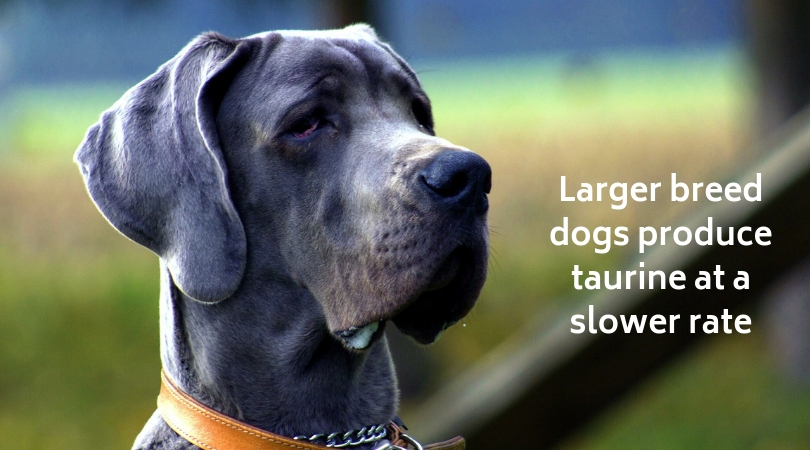 Larger breed dogs produce taurine at a slower rate