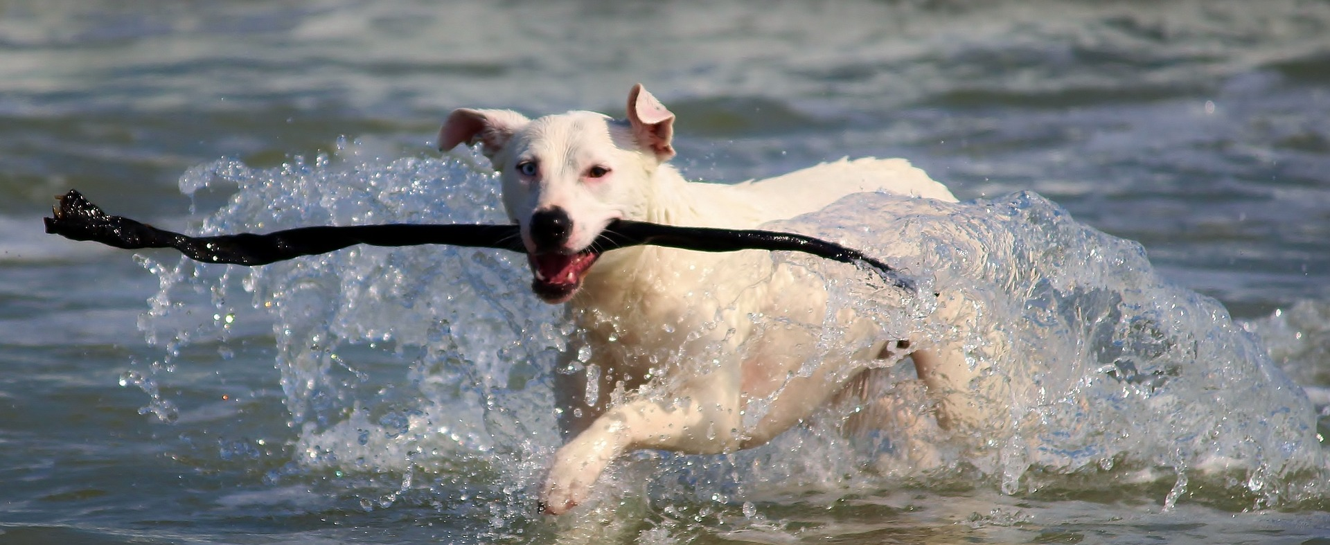 Dogs who swim may be prone to ear infections