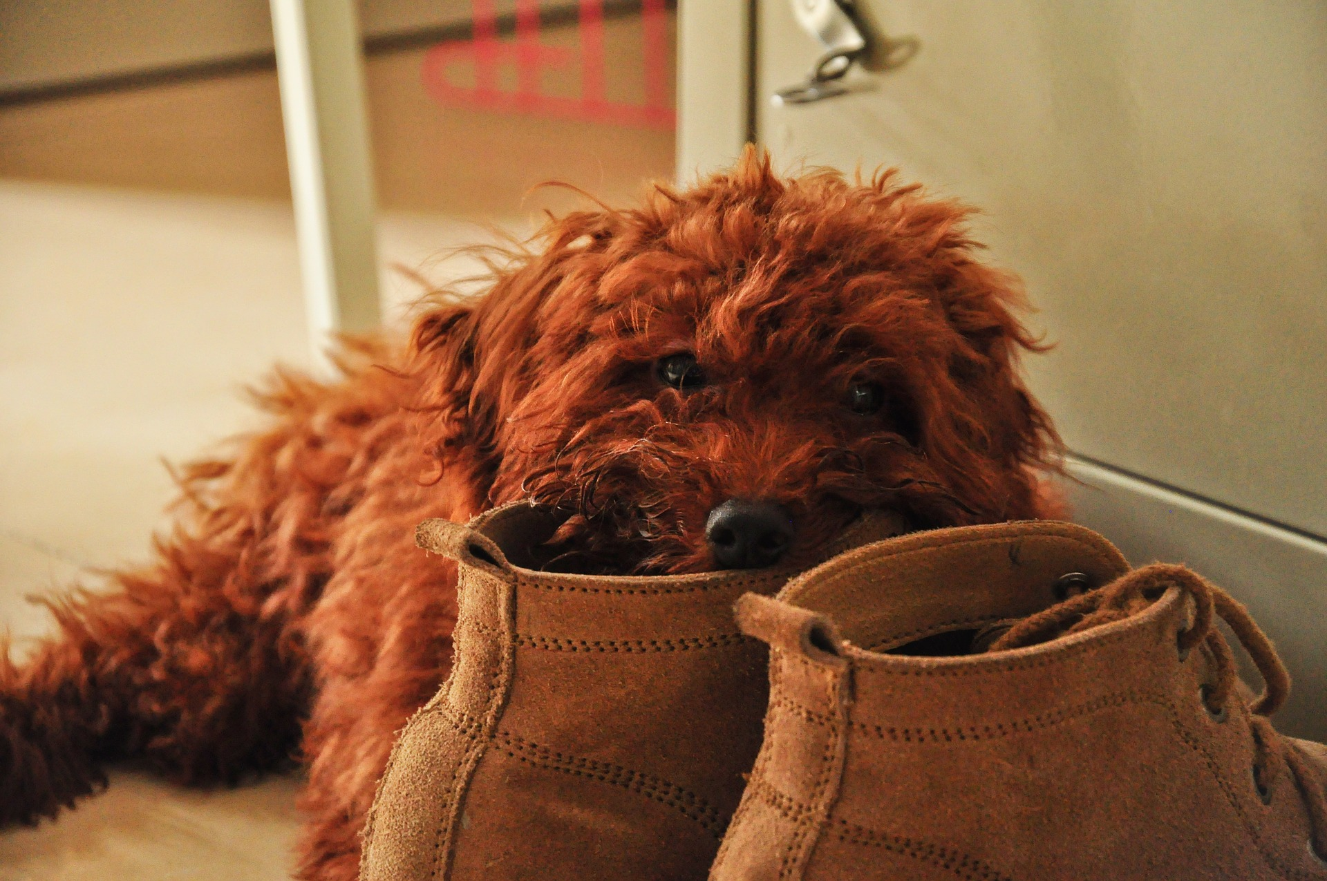 Shoes can look like lots of fun for pets who chew!