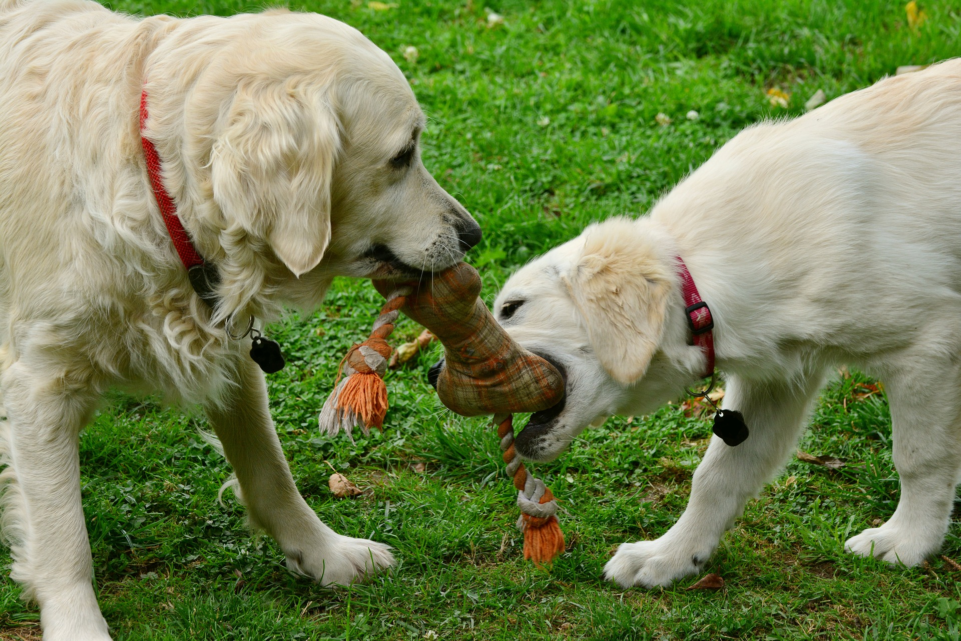 Even toys can be a route to spread distemper in dogs
