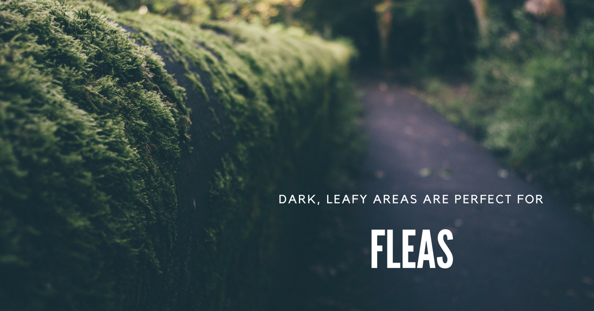 Dark, leafy areas are perfect for fleas