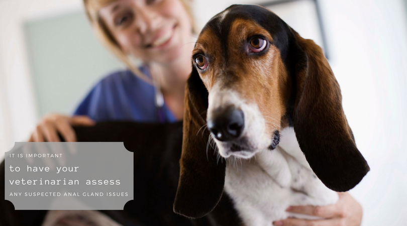 It is important to have your veterinarian assess any suspected anal gland issues