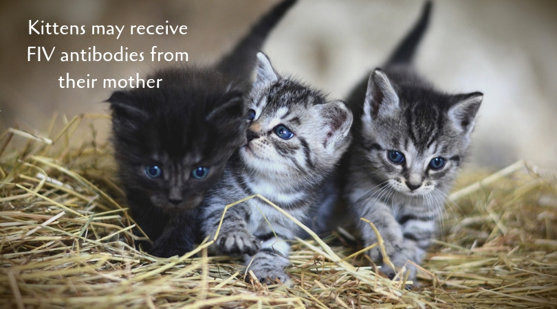 Kittens may receive FIV antibodies from their mother