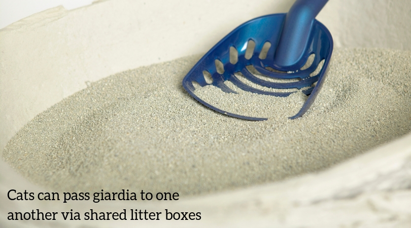 Photo of litter box, where cats may share the giardia parasite