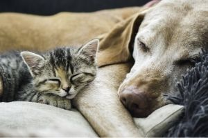 anesthesia free cat and dog dental