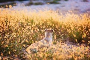 beware of foxtails on dog walks