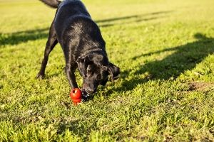 dog playing with a kong