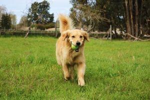 dog playing tennis ball