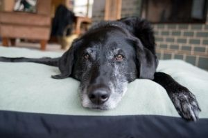senior dog nearing end of life