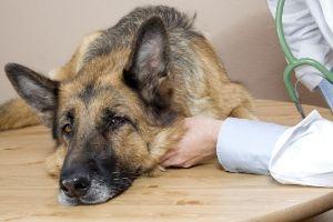 sick dog harmful algal blooms
