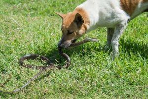 keep dogs safe from snake bites