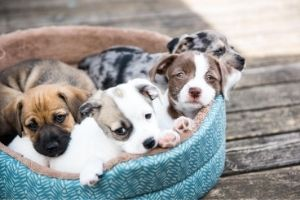 transmission of parvovirus in puppies