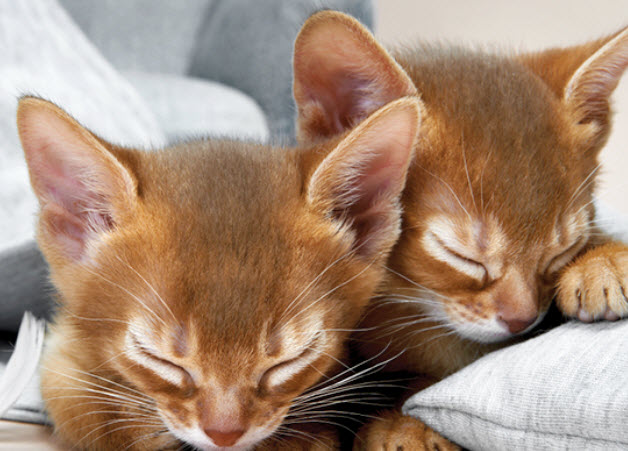 Abyssinian Cat Breeders Pa
