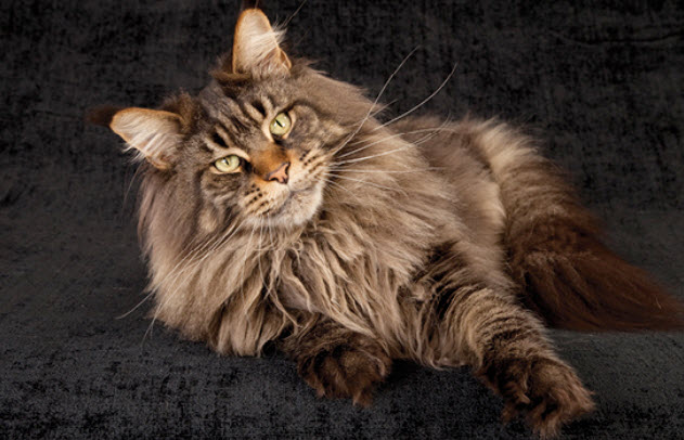 Mancoon Cat Breeds