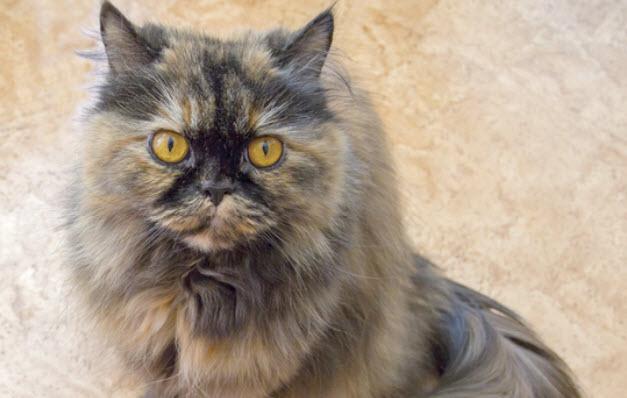 Persian Cat Breed Info