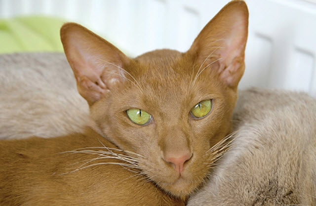 Shorthaired Oriental Cat Breed Info