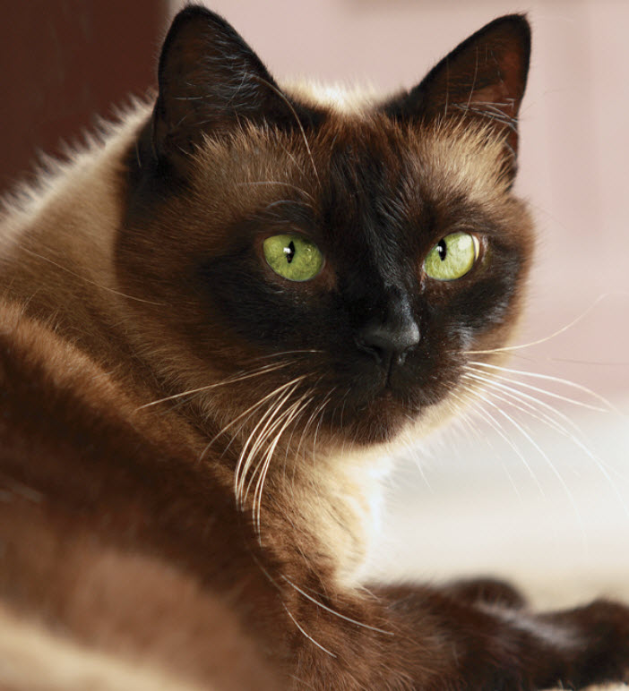 learn about the siamese cat breed from a trusted veterinarian