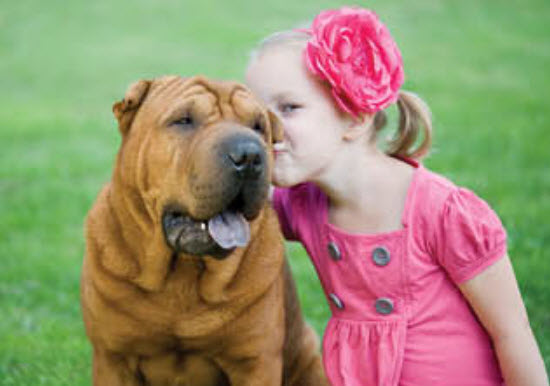 Chinese Shar-Pei Dog Breed Info