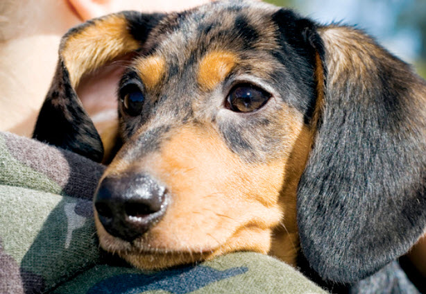 Dachshund Dog Breed Info