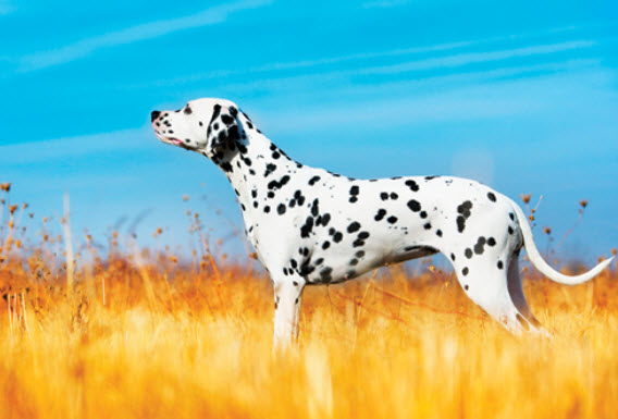 Dalmatian Dog Breed Info