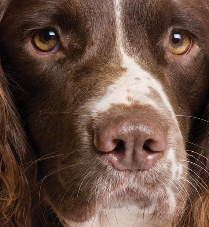 English Springer Spaniel Dog Breed Info