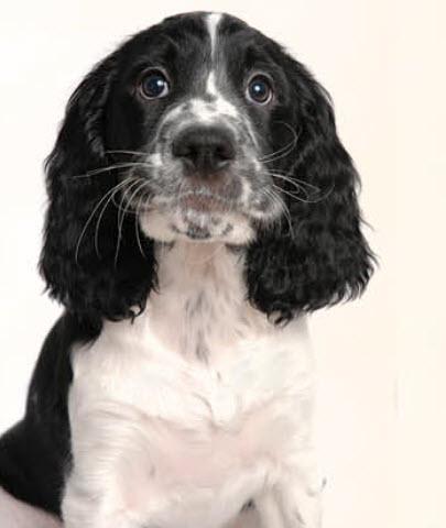 Image result for dog springer spaniel