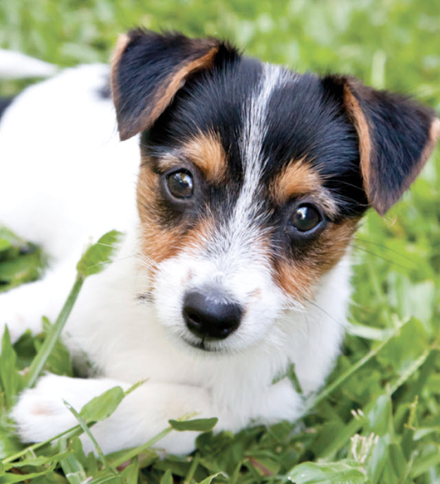 Smooth Fox Terrier Dog Breed Info