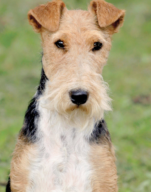 Learn About The Wire Fox Terrier Dog Breed From A Trusted Veterinarian