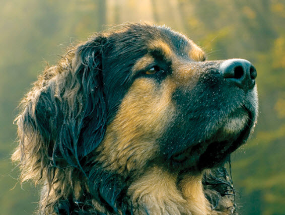 Giant Mixed Breed Dog Breed Info