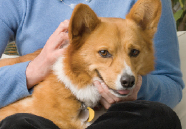 Pembroke Welsh Corgi Dog Breed Info