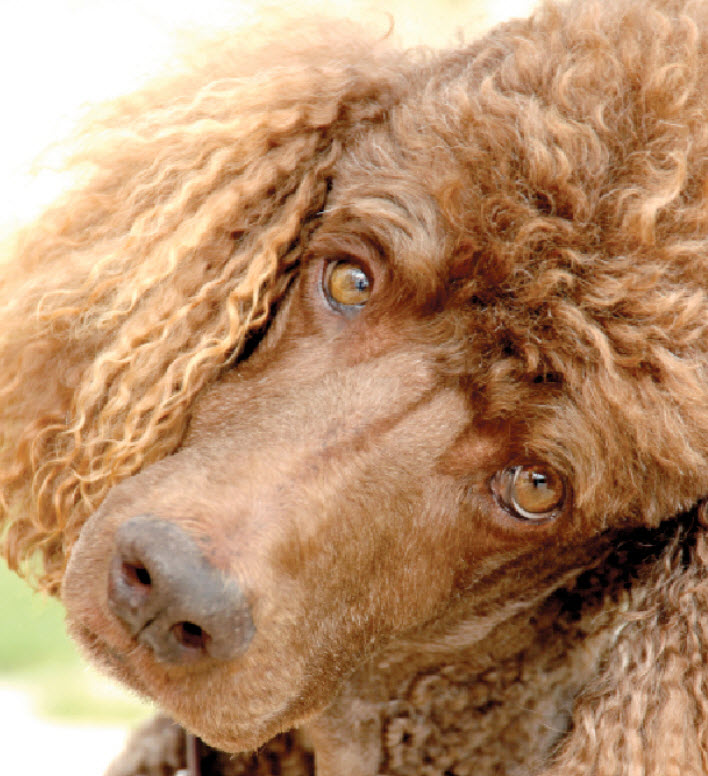 Learn About The Standard Poodle Dog Breed From A Trusted