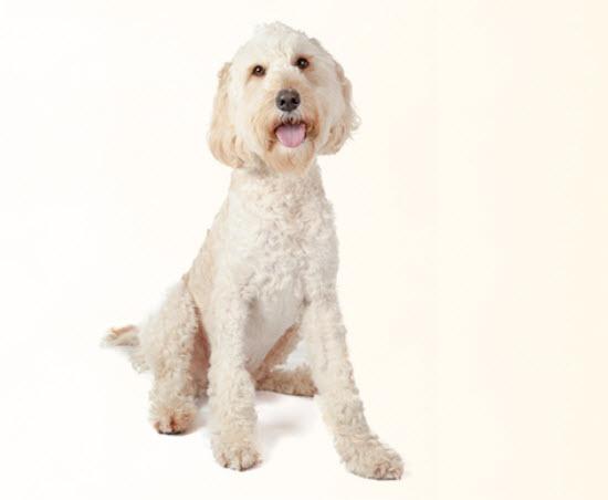 Standard Poodle Dog Breed Info