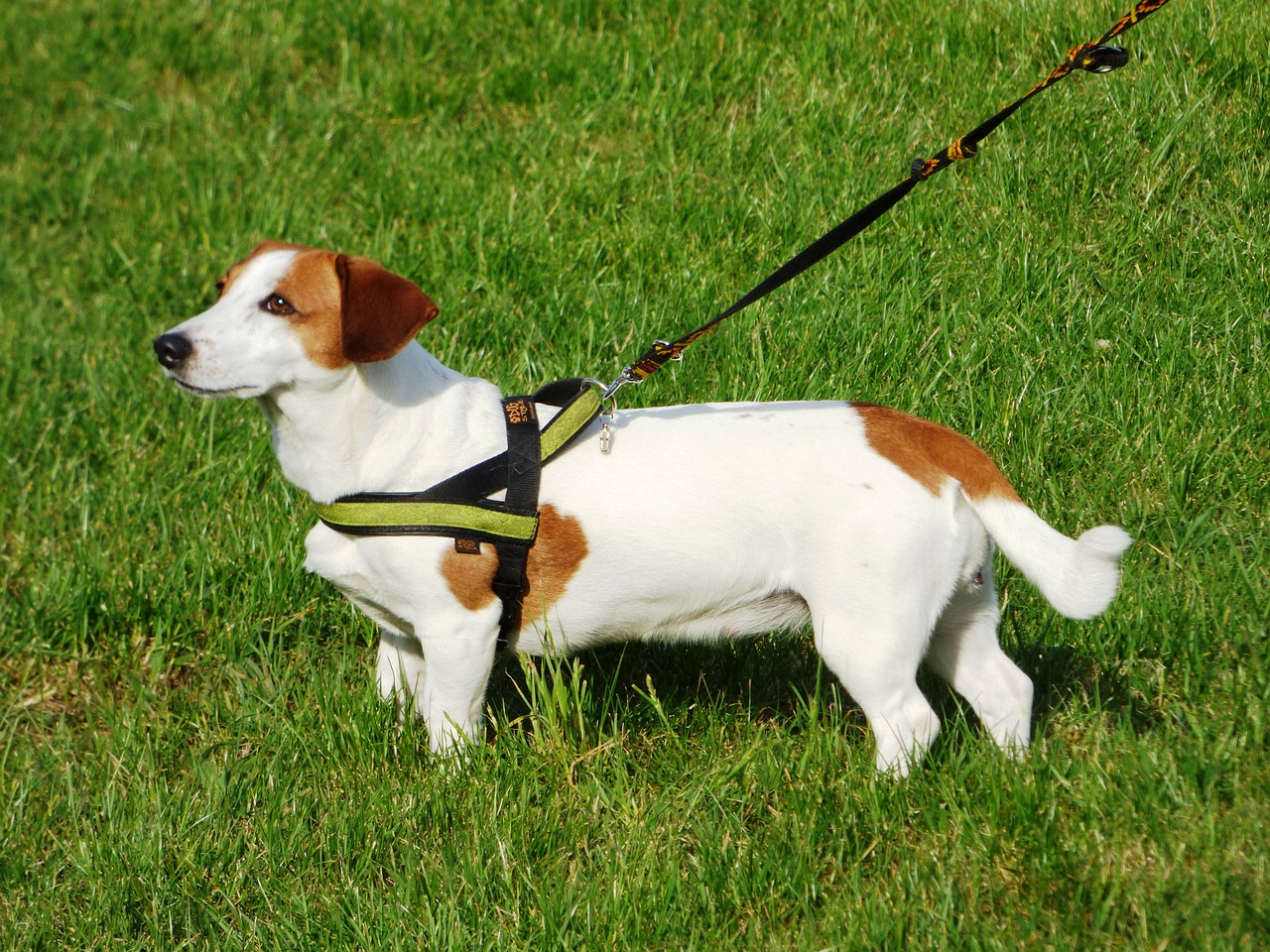 dog leash harness training