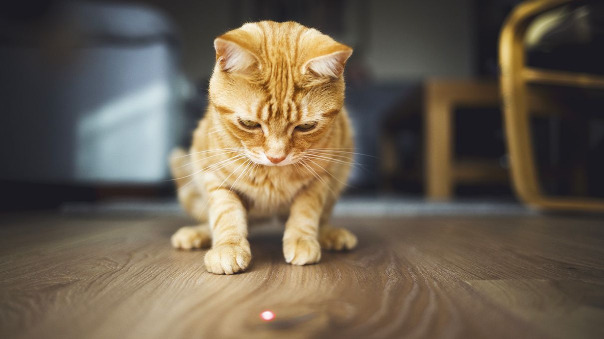 cat and dog laser pointer behavior