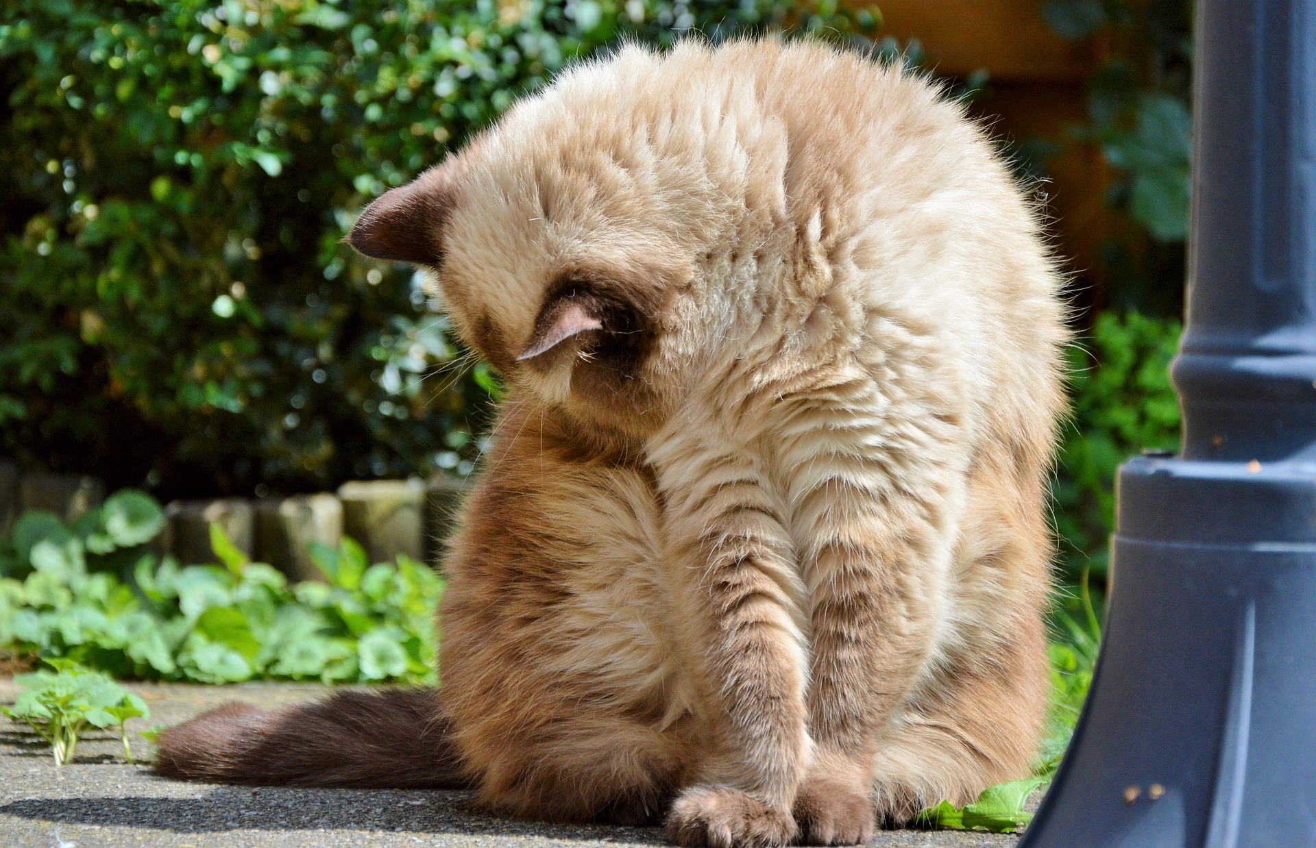 Cats can develop hairballs while self-grooming
