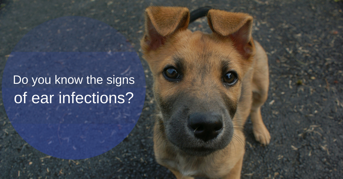 Do you know the signs of ear infections in your dog?