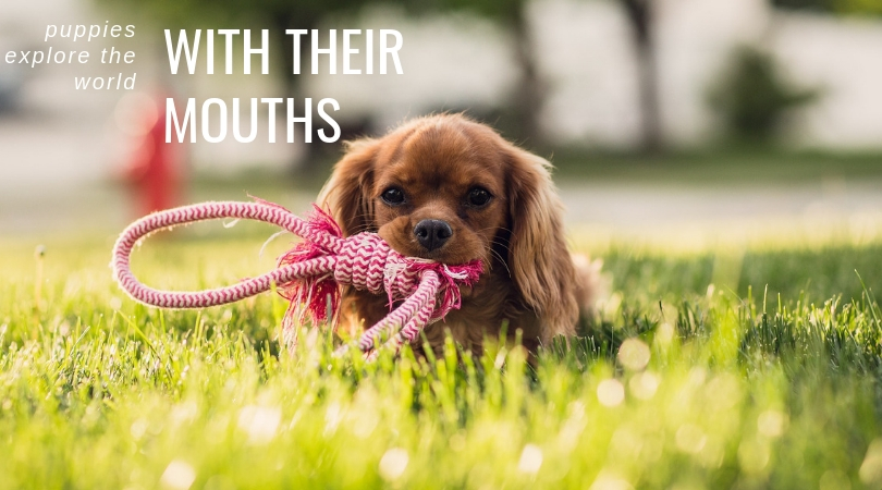 Puppies explore the world with their mouths