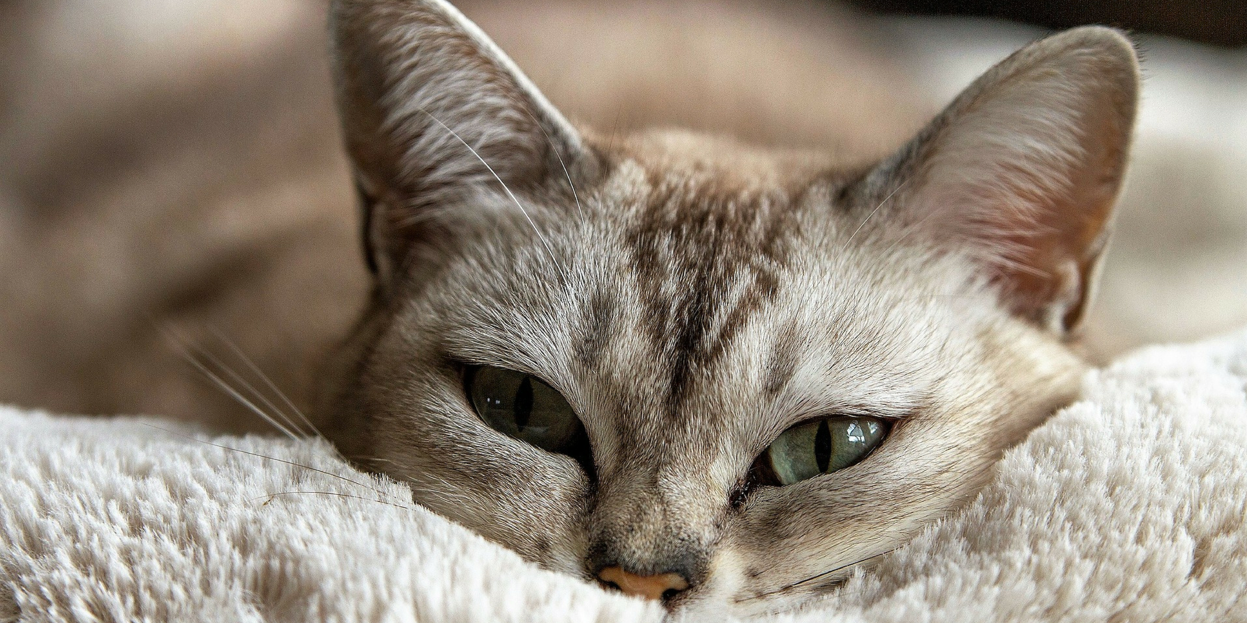 While there is no cure for feline asthma, it can be easily managed.