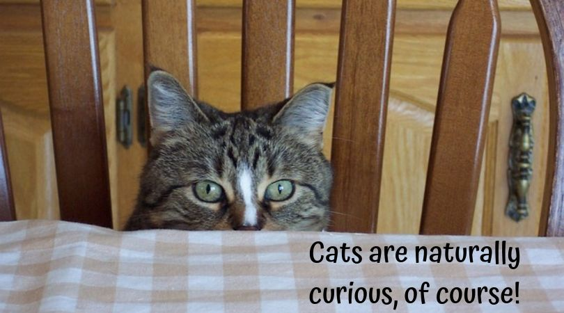 Cat peeking from chair at dining table