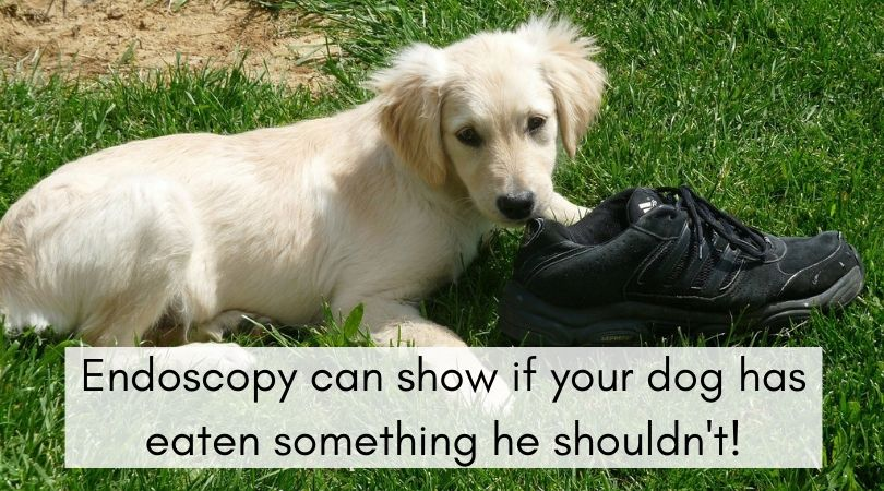 Puppy ready to chew on a shoe