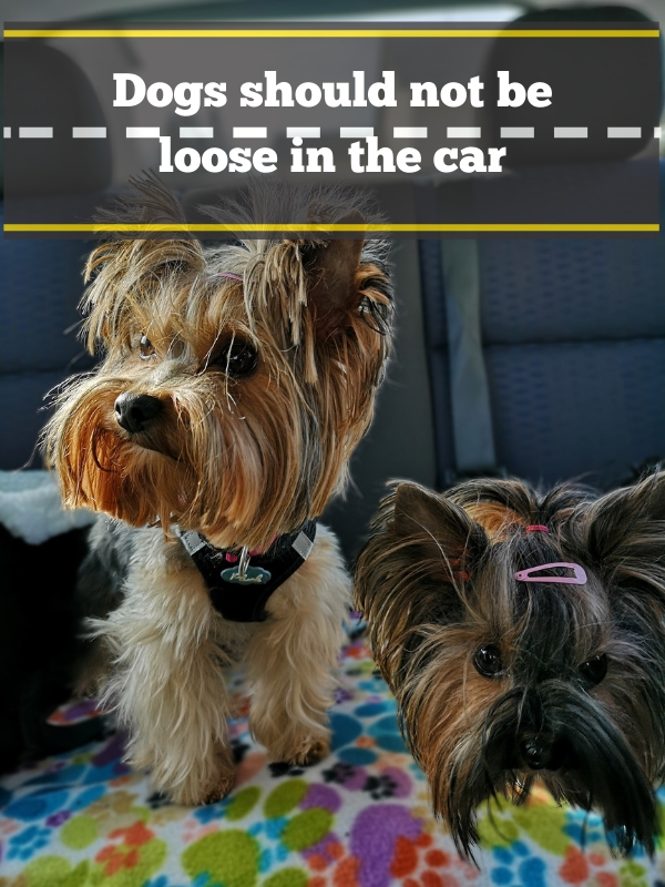 Dogs in back seat of car