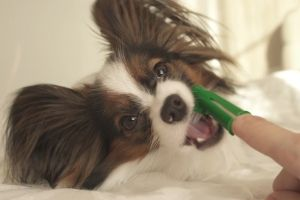 brushing puppy teeth
