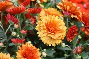 Chrysanthemums are poisonous to cats