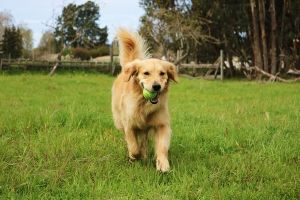 dog playing tennis ball