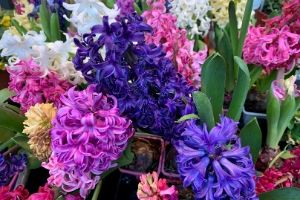 Hyacinths are poisonous to cats