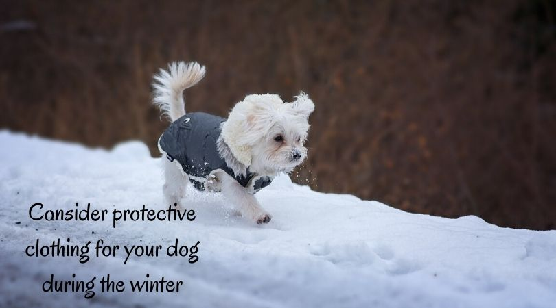 A small dog wearing a coat in the snow