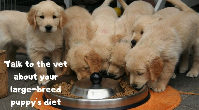 Golden retriever puppies at meal time
