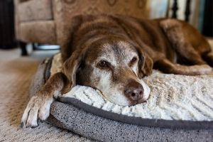 senior dog euthanasia