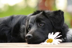 black dog syndrome